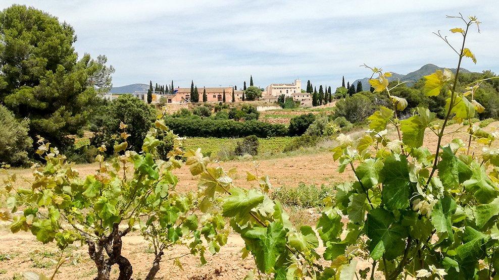 Vineyard Penedès springtime