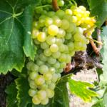 Macabeu grape variety, Penedès