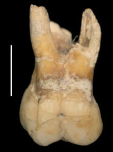 Human first upper right molar from Layer 5 (215,000 years ago) of Mollet Cave, Serinyà. Image from Maroto et al. 2012