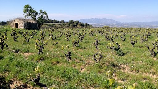 Springtime with first growth in a vineyard with Montserrat Mountain in the backdropundefined