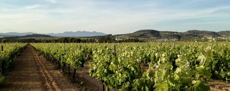 Springtime in a Penedès vineyard with Montserrat Mountain in the background