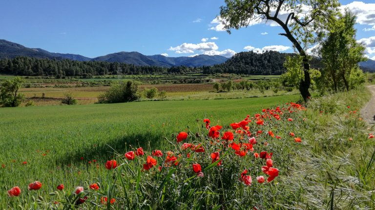 Poppies and wheat fields near Poblet Natural Park, with the Prades Mountains in the background