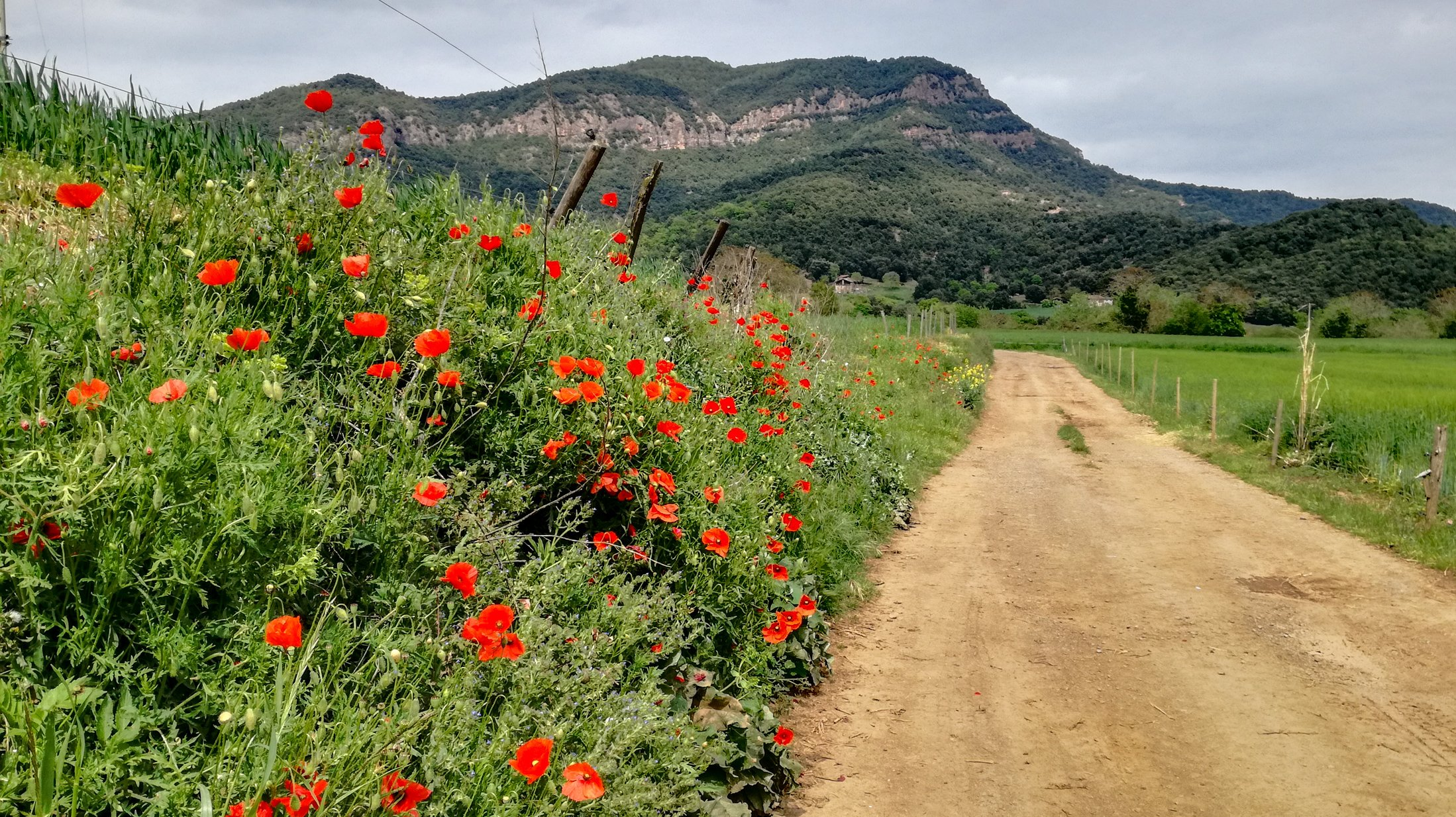 Garrotxa Hike trail, wheat fields and poppies on path to Coll de Boixeda hill in the background