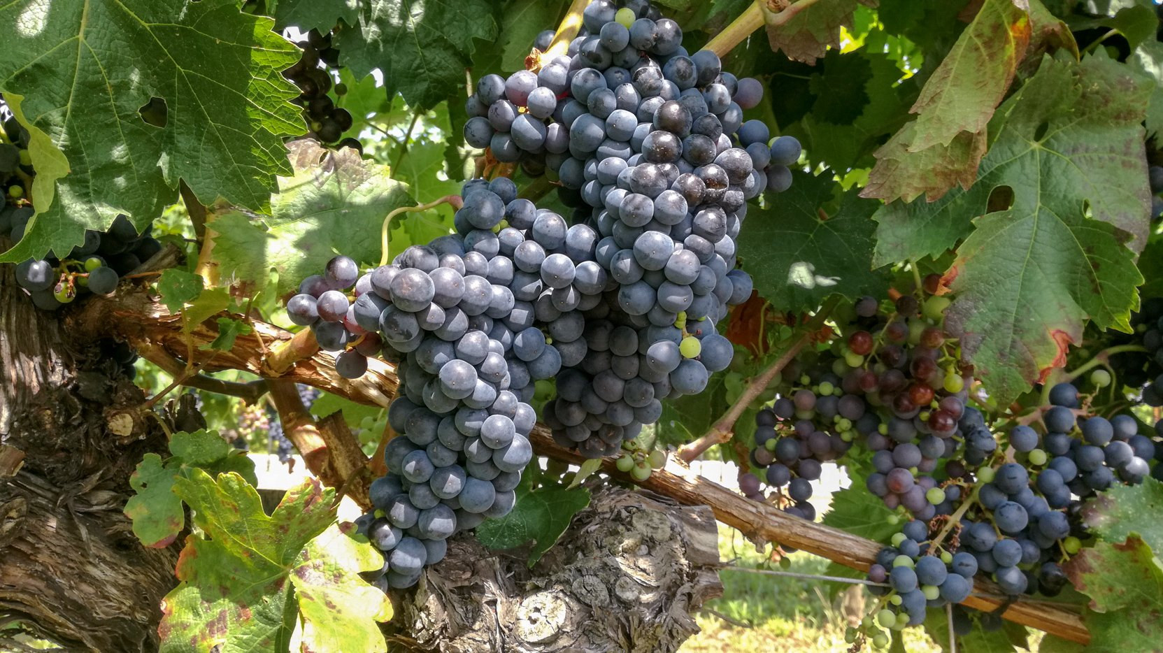 Tempranillo (Ull de Llebre) grape variety in late summer, with grapes ripening. Growing in the demonstration plot of Caves Llopart winery, Penedès, Barcelona, Spain