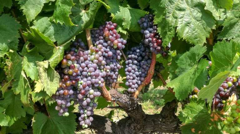 Sumoll (Vigiriega / Vigiriego) grape variety in late summer, with grapes ripening. Growing in the demonstration plot of Caves Llopart winery, Penedès, Barcelona, Spain