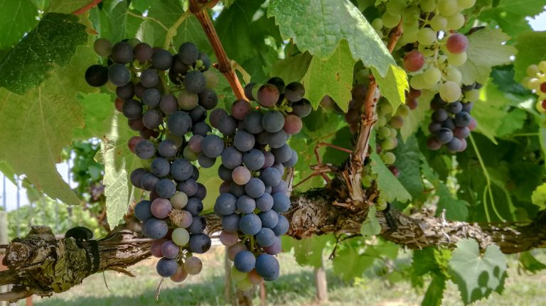 Petit Verdot grape variety in late summer, with grapes ripening. Growing in the demonstration plot of Caves Llopart winery, Penedès, Barcelona, Spain