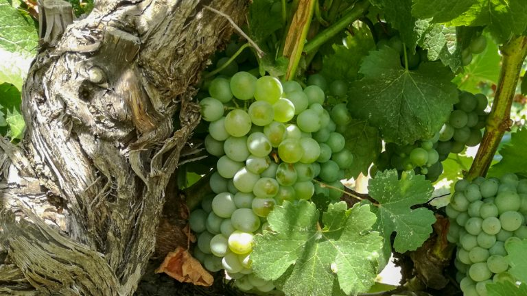 Sauvignon Blanc grape variety in late summer, with grapes ripening. Growing in the demonstration plot of Caves Llopart winery, Penedès, Barcelona, Spain