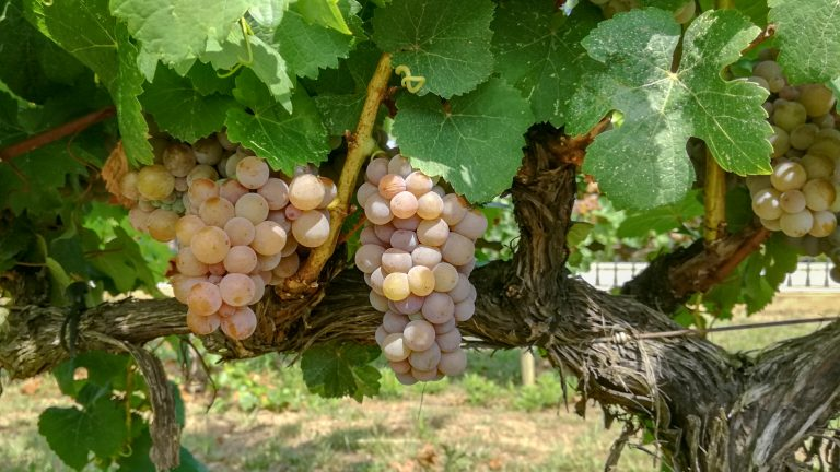 Savignin (Gewürztraminer) grape variety in late summer, with grapes ripening. Growing in the demonstration plot of Caves Llopart winery, Penedès, Barcelona, Spain