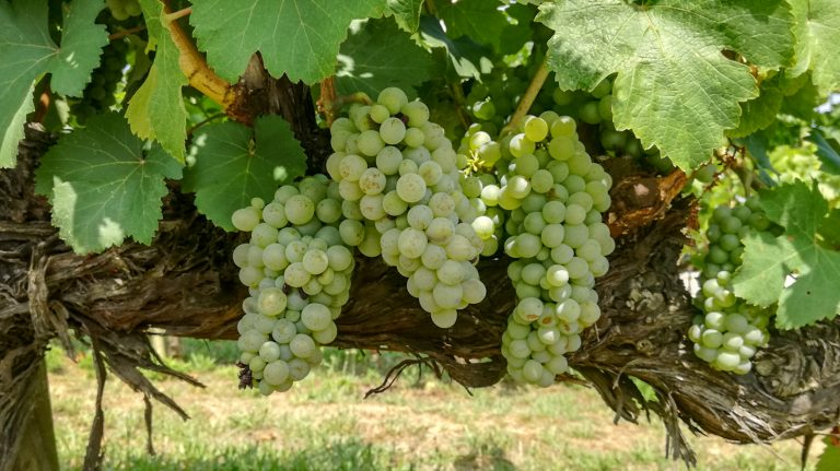Chenin Blanc (Agudelo / Agudillo) grape variety in late summer, with grapes ripening. Growing in the demonstration plot of Caves Llopart winery, Penedès, Barcelona, Spain
