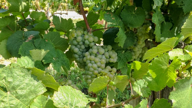 Riesling grape variety in late summer, with grapes ripening. Growing in the demonstration plot of Caves Llopart winery, Penedès, Barcelona, Spain