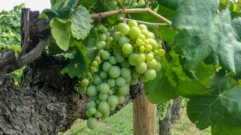 Parellada grape variety in late summer, with grapes ripening. Growing in the demonstration plot of Caves Llopart winery, Penedès, Barcelona, Spain