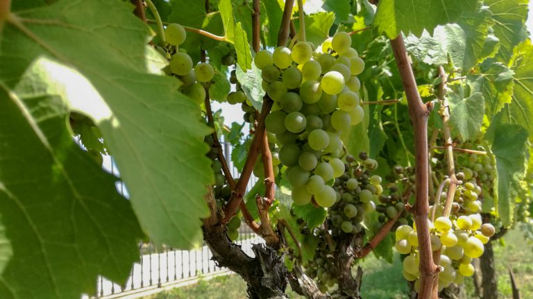 Verdejo (Albillo de Nava) grape variety in late summer, with grapes ripening. Growing in the demonstration plot of Caves Llopart winery, Penedès, Barcelona, Spain