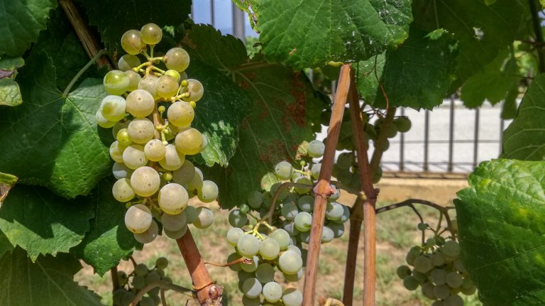 Alvarinho (Albarinho / Albariño) grape variety in late summer, with grapes ripening. Growing in the demonstration plot of Caves Llopart winery, Penedès, Barcelona, Spain