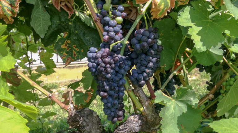 Syrah grape variety in late summer, with grapes ripening. Growing in the demonstration plot of Caves Llopart winery, Penedès, Barcelona, Spain