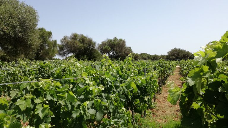 Vineyards on Menorca, Balearic Islands