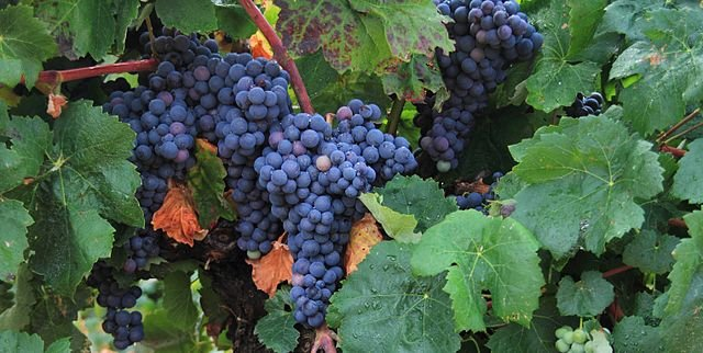 Bobal grape variety