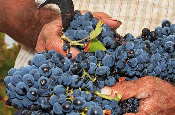 DOP Campo de Borja Garnacha grapes. Image by DOP Campo de Borja