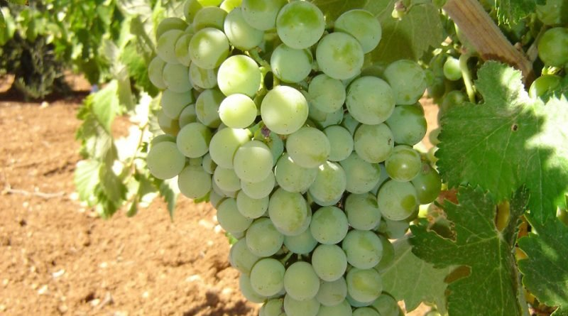 Cayetana Blanca grape variety. Image by Ribera del Guadiana
