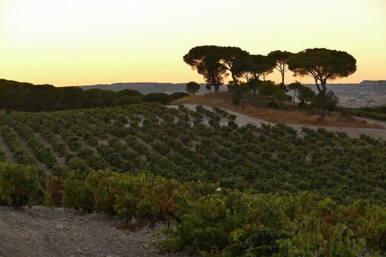 DOP Ribera del Duero vineyard