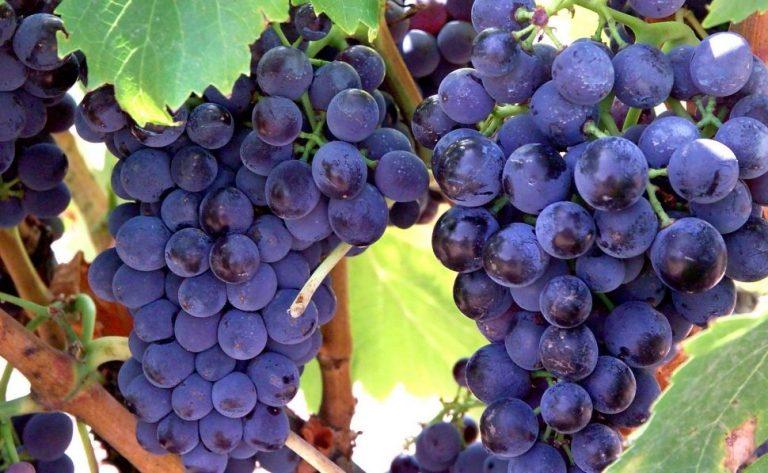 Garnatxa (Garnacha / Grenache) grape variety. Image from www.cerodosbe.com