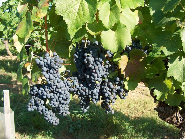 Malbec grape variety. Image by Lapastoure Didier CC BY-SA 2.0