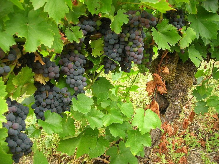 Mencía grape variety. Image by SanchoPanzaXXI CC BY-SA 3.0