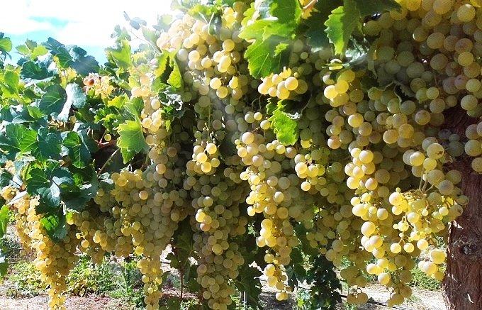 Palamino grape variety